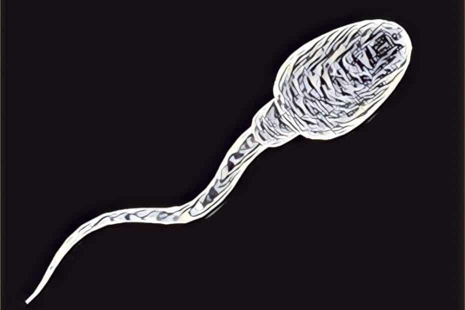 Espermatozóide